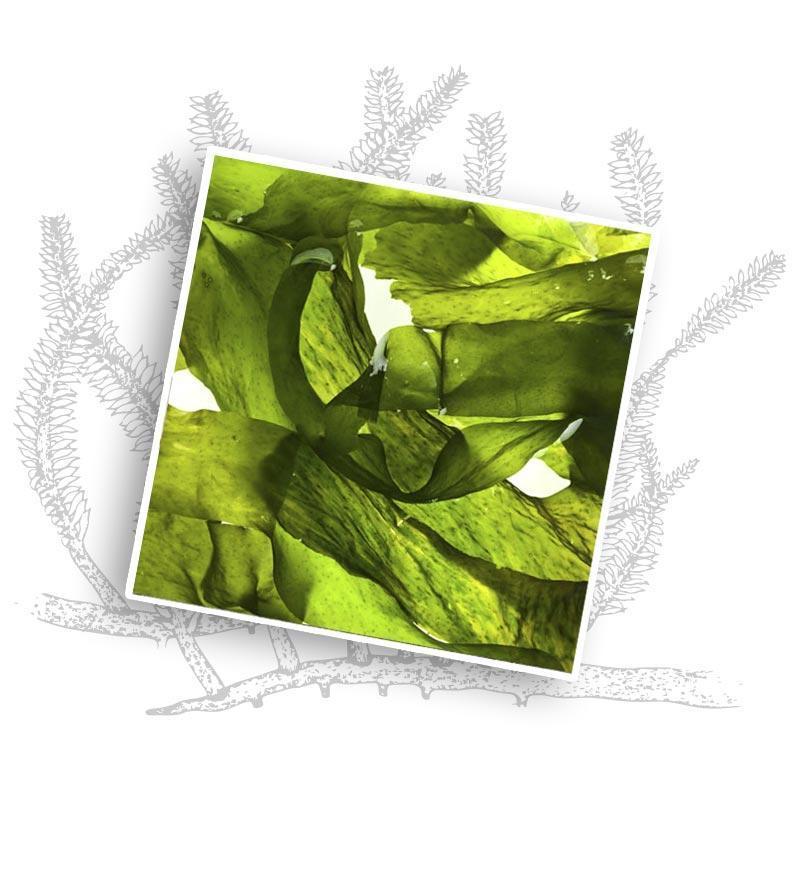 ekstrakt z alg - Miya Cosmetics - Kosmetyki